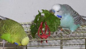 Bird / Budgie 50g Seeds - Grow your own FRESH food - FREE POST